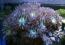 Зеленый коралл Дункана Стоковая Фотография