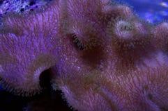 Зеленый коралл кожи Toadstool Стоковое Изображение