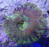 Зеленый коралл мозга Стоковое Фото