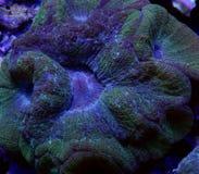 Зеленый коралл Australomussa Стоковые Изображения