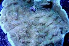 Зеленый коралл Leptoseris Стоковое фото RF