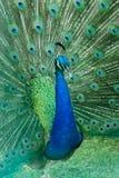 Зеленый красивый павлин Стоковое Изображение RF