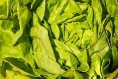 Зеленый круглый салат, Lactuca sativa конец вверх Стоковое фото RF
