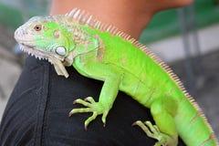 Зеленый крупный план портрета игуаны на плече Стоковое фото RF