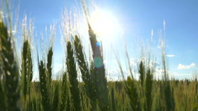 Зеленый крупный план пшеницы на заходе солнца видеоматериал