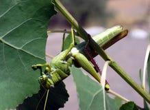 Зеленый кузнечик птицы Стоковое фото RF
