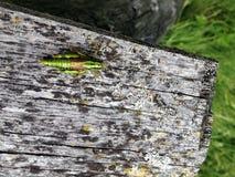 Зеленый кузнечик саранчи Стоковое Фото