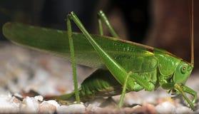 Зеленый кузнечик сверчка Стоковое Изображение RF
