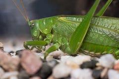 Зеленый кузнечик сверчка Стоковая Фотография RF
