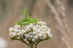 Зеленый кузнечик с белой нашивкой & x28; Albovittata& x29 Leptophyes; Стоковое Изображение