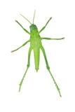 Зеленый кузнечик Стоковые Изображения RF
