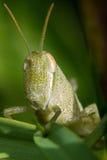 Зеленый кузнечик Стоковые Фотографии RF
