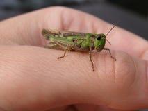 Зеленый кузнечик Стоковое фото RF