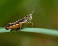 Зеленый кузнечик, viridulus Omocestus Стоковое Изображение RF