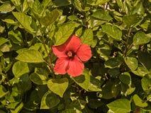 Зеленый кустарник с оранжевым цветком Стоковые Фото