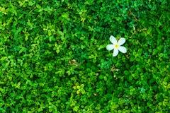 Зеленый куст с белым цветком Зеленый цвет выходит стена Стоковая Фотография