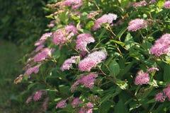 Зеленый куст с розовыми или фиолетовыми цветками в саде стоковая фотография rf