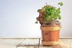 Зеленый клевер в деревянном баке на белой таблице Стоковая Фотография