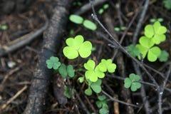 Зеленый клевер для везения Стоковая Фотография