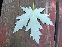 зеленый клен листьев Стоковое Изображение