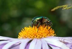 Зеленый макрос жука Стоковая Фотография RF