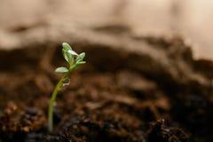 Зеленый макрос ростка Стоковая Фотография RF