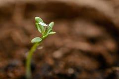 Зеленый макрос ростка Стоковая Фотография