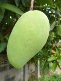 Зеленый манго Стоковые Изображения