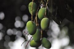 зеленый манго Стоковое Изображение RF