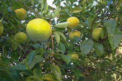 зеленый мандарин Стоковое фото RF
