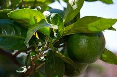 зеленый мандарин Стоковое Фото