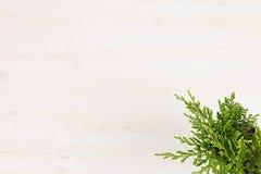 Зеленый можжевельник завода хвои в взгляд сверху бака на белой предпосылке деревянной доски Стоковые Фото