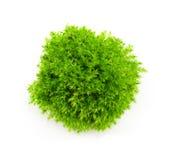 Зеленый мох на белой предпосылке Стоковое Изображение