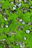 Зеленый мох на камне мшистая предпосылка утесов Стоковое Фото