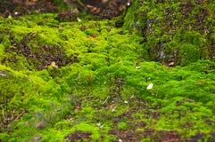 Зеленый мох на сочной земле Стоковые Фото