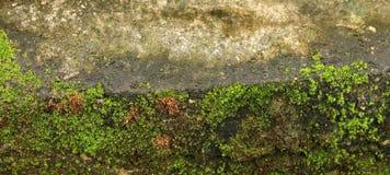 Зеленый мох на старой стене Стоковое Изображение