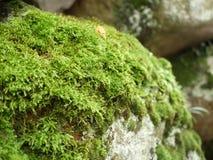 Зеленый мох на стене утеса Стоковое фото RF