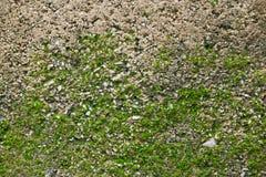 Зеленый мох на текстуре стены Стоковая Фотография RF