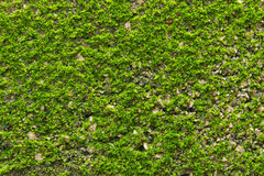 Зеленый мох на текстуре стены Стоковые Изображения RF