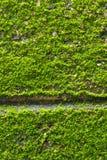 Зеленый мох на текстуре стены Стоковые Изображения