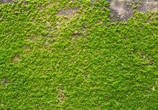 Зеленый мох на текстуре стены Стоковое Изображение