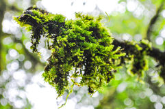 Зеленый мох на defocused предпосылке bokeh Стоковые Изображения