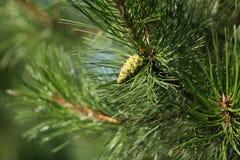 Зеленый молодой конус сосны Стоковые Изображения RF