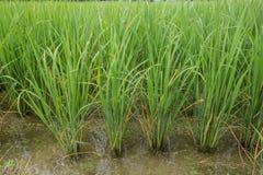 Зеленый молодой рис Стоковое Фото