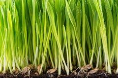 Зеленый молодой росток пшеницы Стоковые Изображения