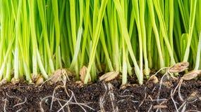Зеленый молодой росток пшеницы Стоковое Изображение RF