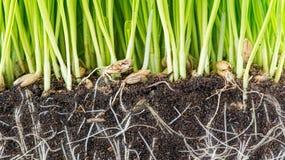 Зеленый молодой росток пшеницы Стоковая Фотография
