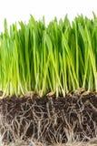Зеленый молодой росток пшеницы Стоковые Изображения RF