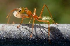 Зеленый муравей Стоковые Фотографии RF