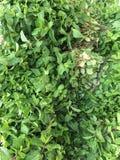 зеленый овощ Стоковое Изображение RF